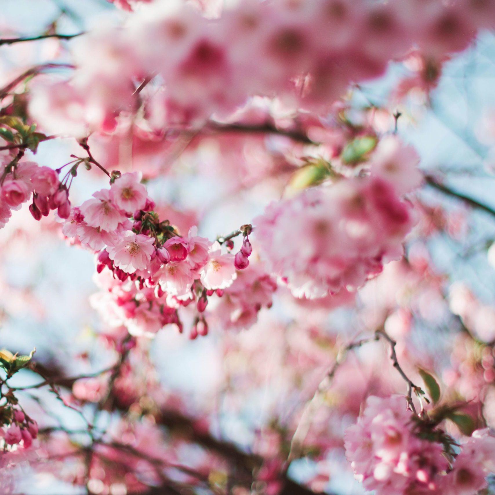 Arbole de cereza florecido